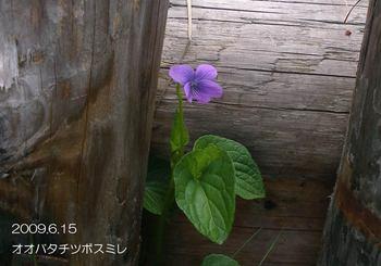 121oobatachitsubosumire2
