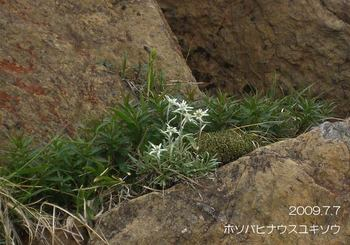 066hosobahinausuyukisou