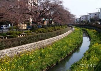 110402kumashinosakura1