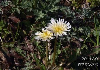 012shirobanatanpopo