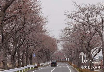 ほんのり桜色♪満開が待ち遠しいです♪