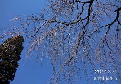 境内に有る枝垂れ桜♪間もなくですね~♪