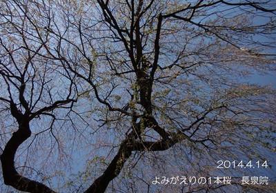 大きく枝を広げる枝垂桜♪下から見上げるのがくまちゃん♪風です♪