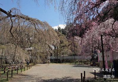 旧荒川村は、枝垂桜と蕎麦の里♪清雲寺は、枝垂桜のお寺です♪