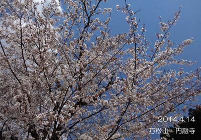 満開になったら次は、桜吹雪♪ハラハラと散る姿もまた素敵です♪
