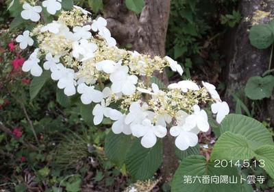 くまちゃん♪の大好きなお花です♪オオカメノキさんのお花に似ていますが、ちょっぴり違いますよ~♪