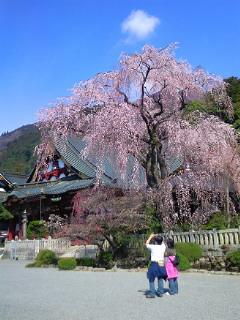 身延山の桜です