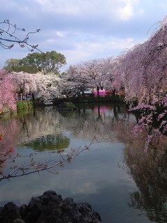 三島大社の桜です